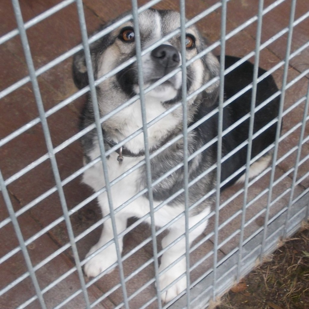 Pies znaleziony w dniu 13 grudnia 2016 r. na terenie Gminy Zakliczyn w miejscowości Borowa
