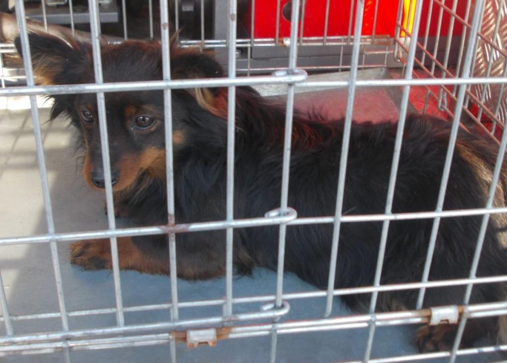 Pies znaleziony w dniu 27 stycznia 2017 r. w miejscowości Zdonia