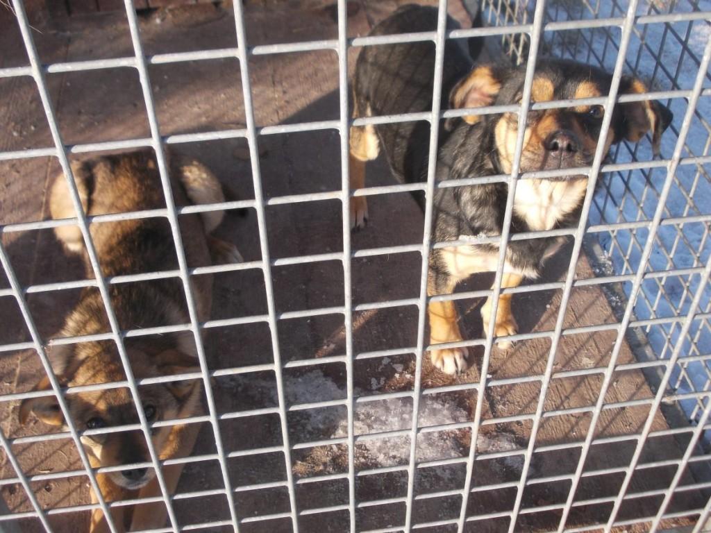 Psy znalezione w dniu 25 stycznia 2017 r. w miejscowości Olszowa