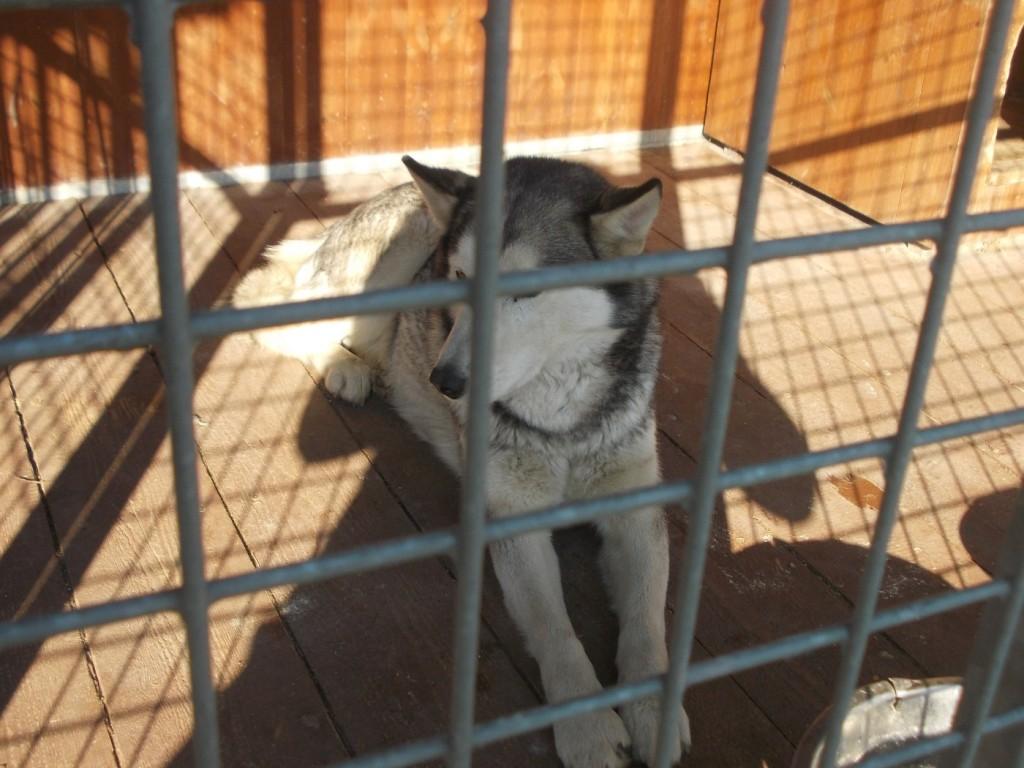 Pies znaleziony w dniu 27 marca 2017 r. na terenie miejscowości Dzierżaniny