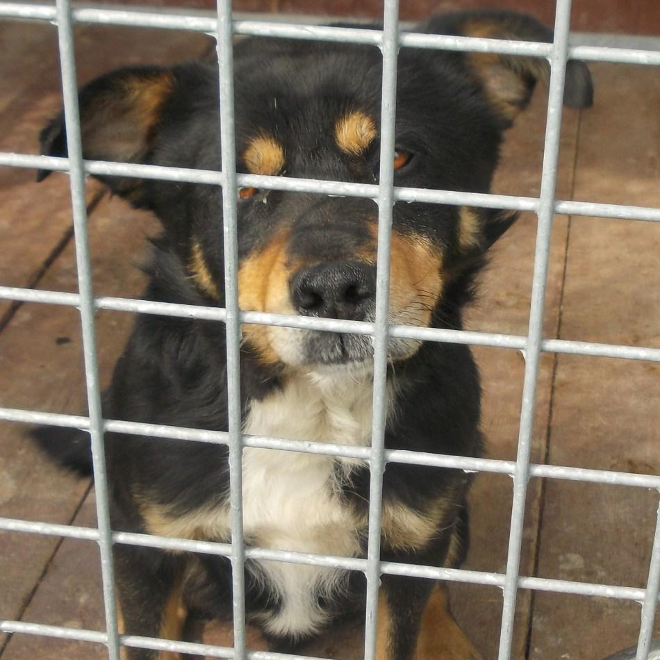 Pies znaleziony w dniu 13 kwietnia 2017 r. na terenie miejscowości Zakliczyn