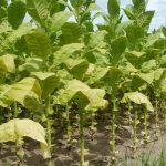 Komunikat dotyczący producentów surowca tytoniowego