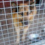 Pies znaleziony na terenie miejscowości Zdonia w dniu 15 grudnia 2019 r.