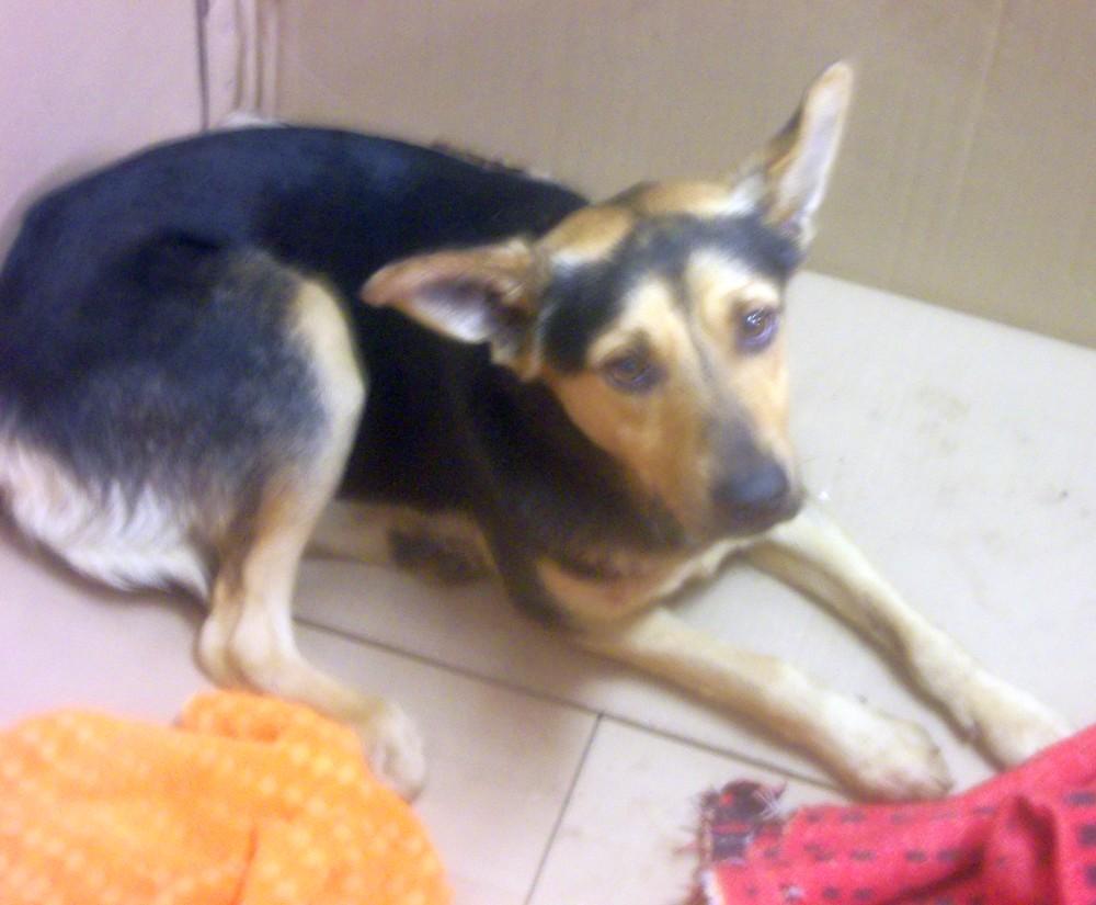 pies znaleziony 6 stycznia 2020 r. na terenie Gminy Zakliczyn